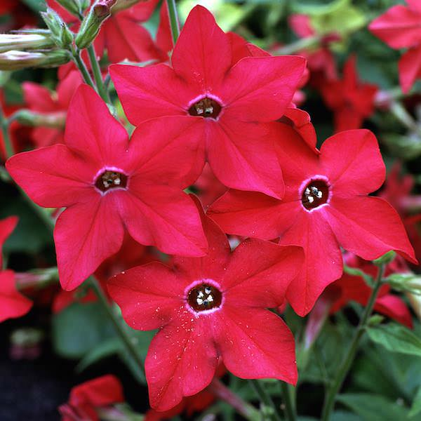 Nicotiana Perfume Red - Annual Flower Seeds