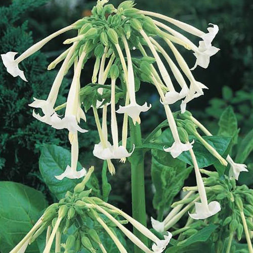 Only The Lonely nicotiana seeds