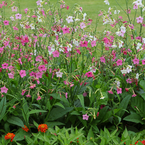 Whisper Mixed nicotiana plants