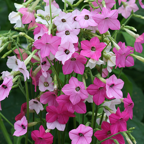 Nicotiana Whisper Mixed seeds