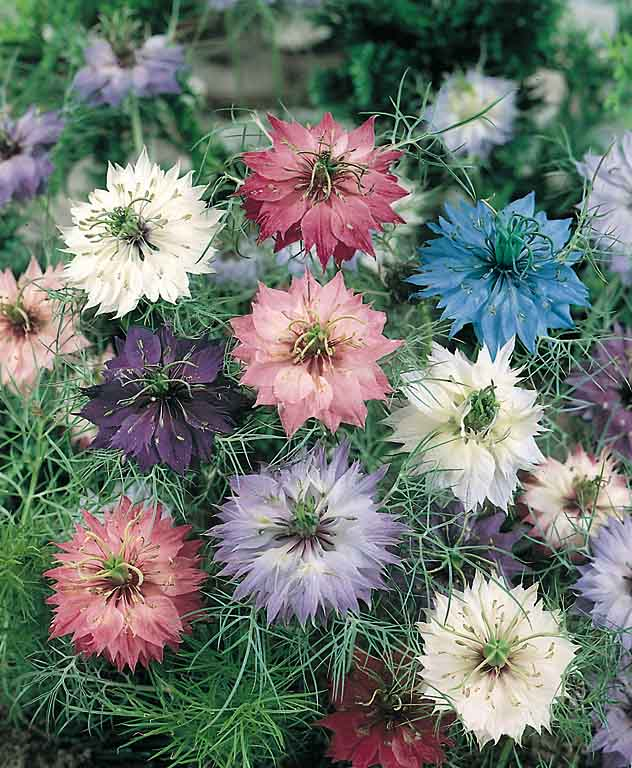 Persian Jewels Mix love in a mist blossoms.