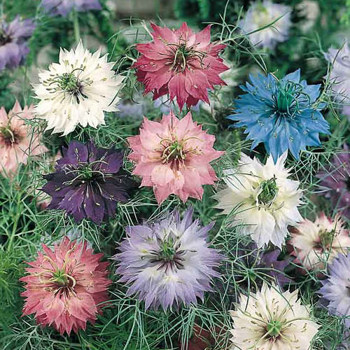 Persian Jewels Mix love-in-a-mist seeds