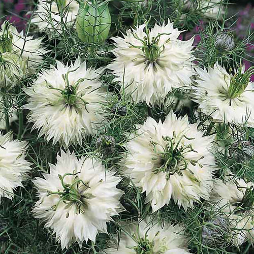 Love in a mist seeds nigella flowers annual flower seeds love in a mist persian jewels mix mightylinksfo