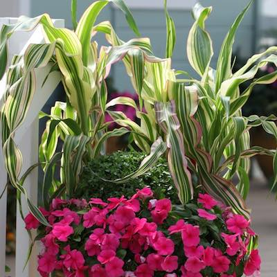 Ornamental Corn Field of Dreams  - annual seeds