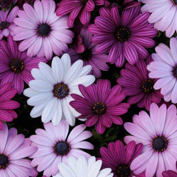 Osteospermum Akila Mix - Annual Flower Seeds