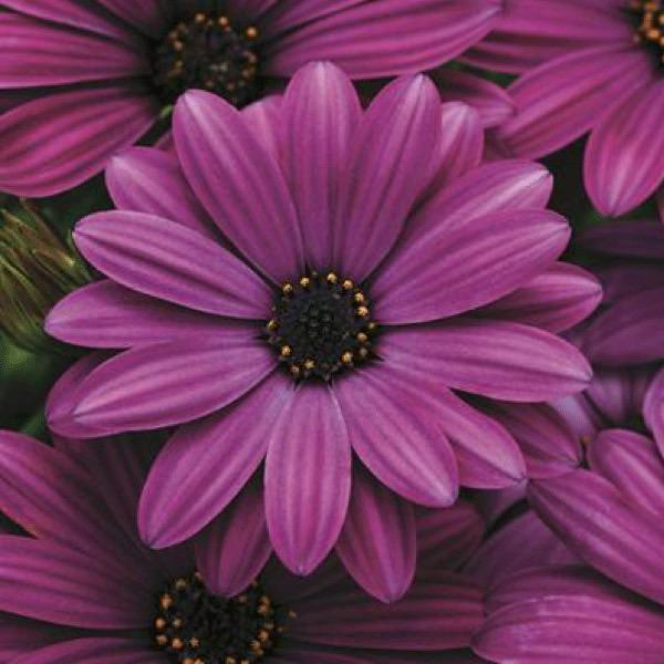 Osteospermum Akila Purple - Annual Flower Seeds