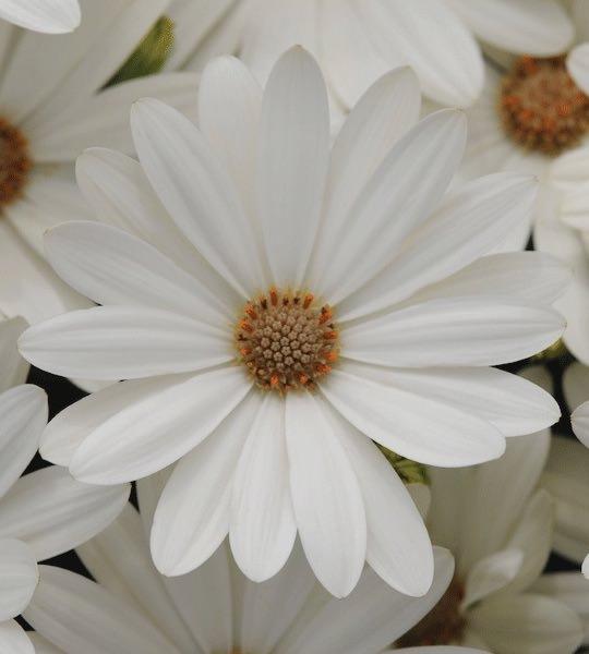 Osteospermum Akila Daisy White - Annual Flower Seeds