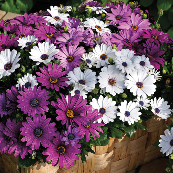 Osteospermum Asti Mix - Annual Flower Seeds