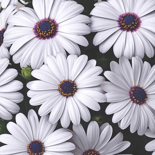 Osteospermum Asti White - Annual Flower Seeds
