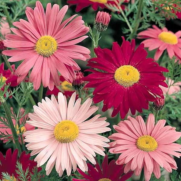 Painted daisy Robinson's Single Mix - Tanacetum coccineum