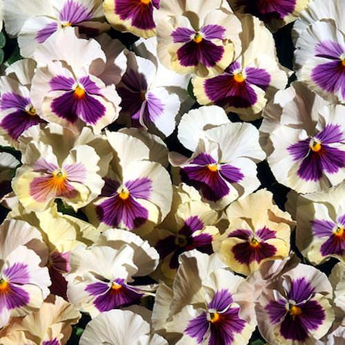 Pansy Acquarelle Gelato Mora - Annual Flower Seeds