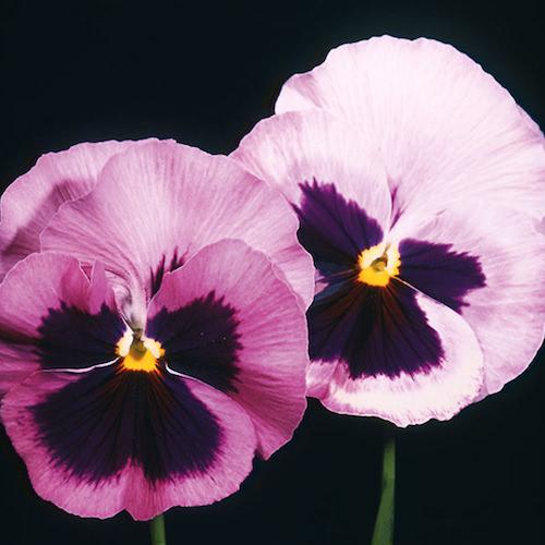 Pansy Acquarelle Gelato Raspberry - Annual Flower Seeds