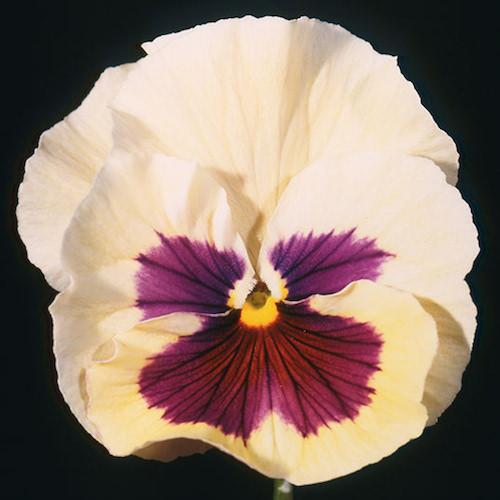 Pansy Acquarelle Gelato Vanilla - Annual Flower Seeds