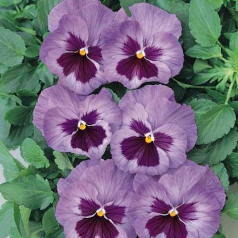 Pansy Acquarelle flambe Lilac - Annual Flower Seeds