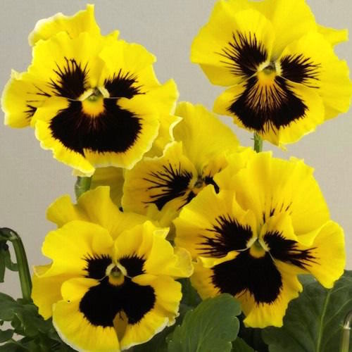 Pansy Bolero Golden