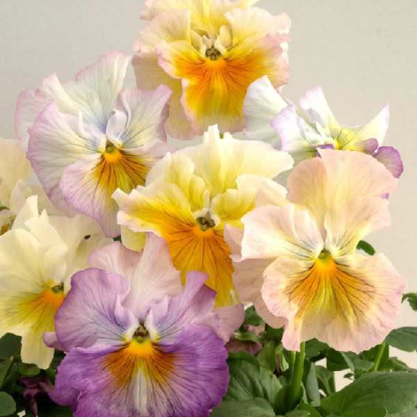 Pansy Bolero Soft Light Azure Limonette - Annual Flower Seeds