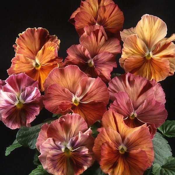 Pansy Chianti Mix - Annual Flower Seeds
