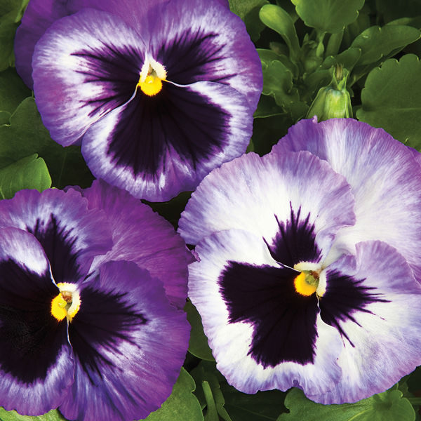 Pansy Colossus Lavender Medley