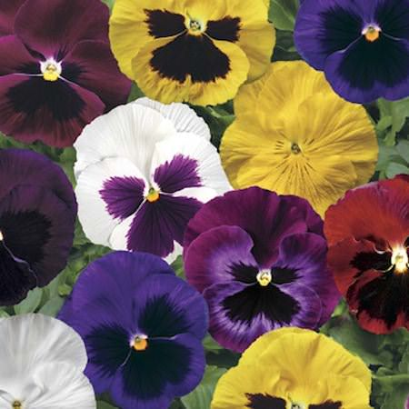 Pansy Colossus Formula Mix