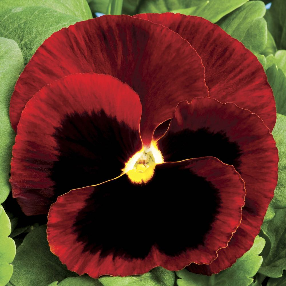 Pansy Colossus Red with Blotch