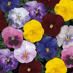 Pansy Delta Monet Mix - Annual Flower Seeds