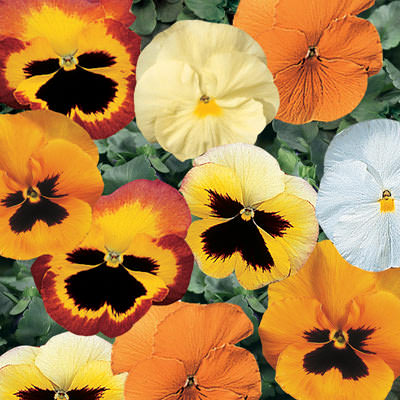Pansy Delta Pumpkin Pie Mix - Annual Flower Seeds