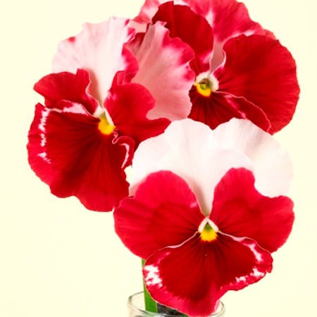 Pansy Desiderio Orchid Rose Tricolor