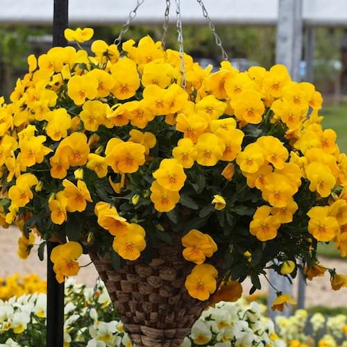 Pansy Freefall Golden Yellow - Annual Flower Seeds