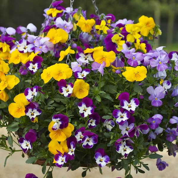 Pansy Freefall Mixed - Annual Flower Seeds