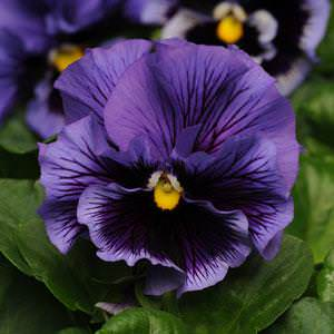Pansy Frizzle Sizzle Blue - Annual Flower Seeds