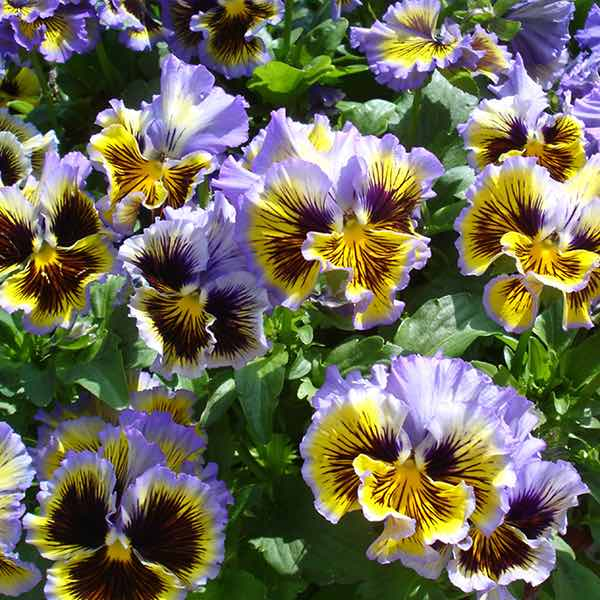 Pansy Frizzle Sizzle Yellow Blue Swirl - Annual Flower Seeds