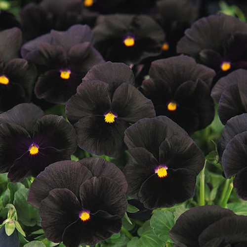 Pansy Halloween 2 black - Annual Flower Seeds