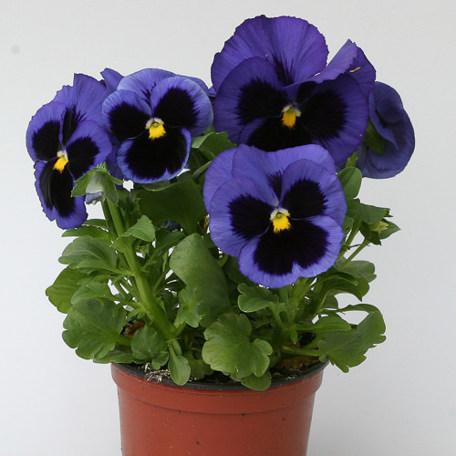 Heat Elite Blue Blotch pansy