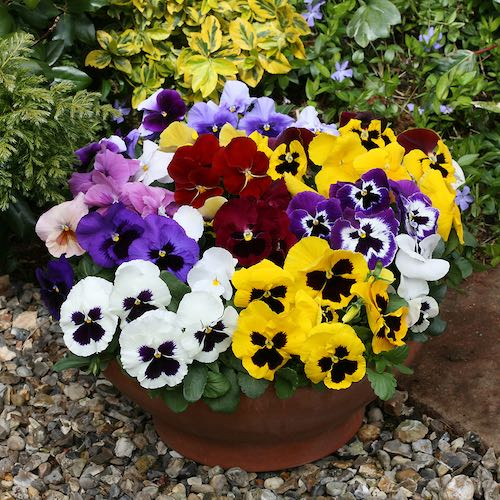 Pansy Heat Elite Formula Mix flowers