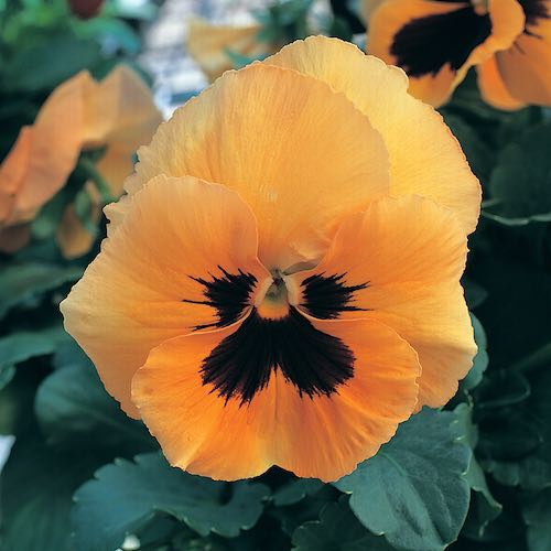 Pansy Heat Elite Orange Blotch bloom