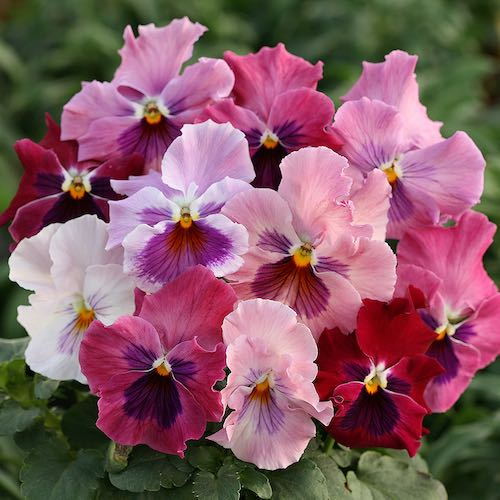 Pansy Heat Elite Pink Shades flowers