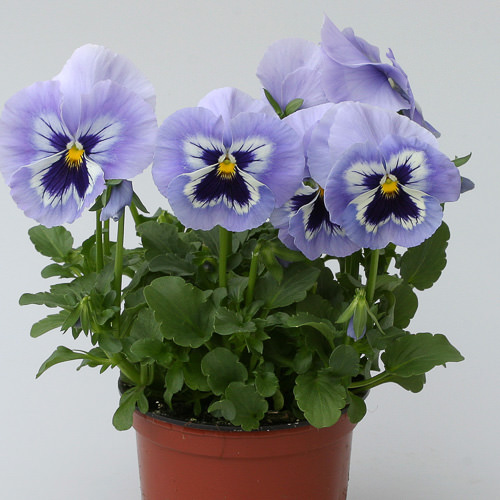 Heat Elite Porcelain Blue Shades pansies