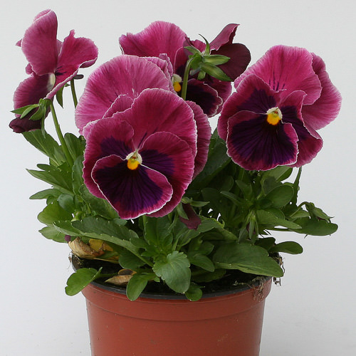 Heat Elite Rose Blotch pansies