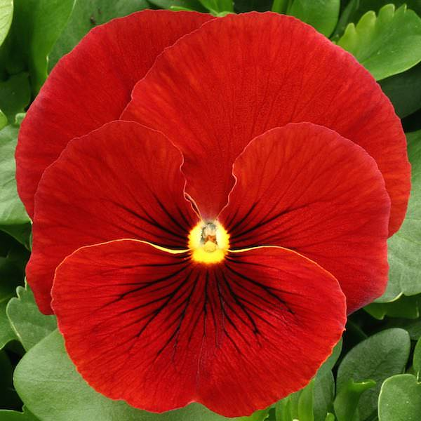 Pansy Heat Elite Scarlet Shades flower