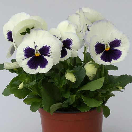 Heat Elite White Blotch pansy plant