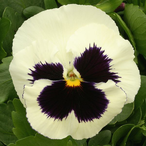 Pansy Heat Elite White Blotch