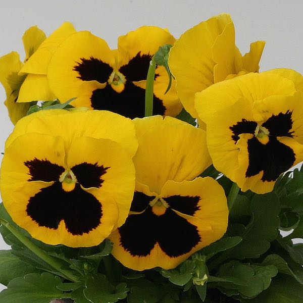 Pansy Heat Elite Yellow Blotch flowering in a container