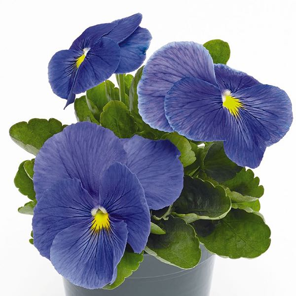 Pansy Inspire Plus True Blue