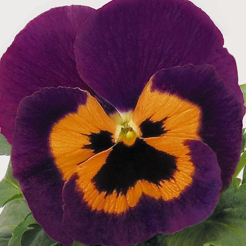 Viola x wittrockiana Inspire Purple with Orange