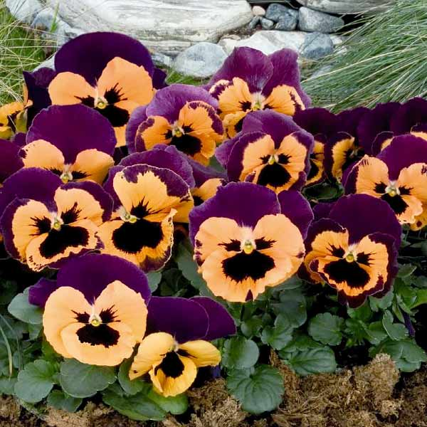 Pansy Inspire Purple with Orange