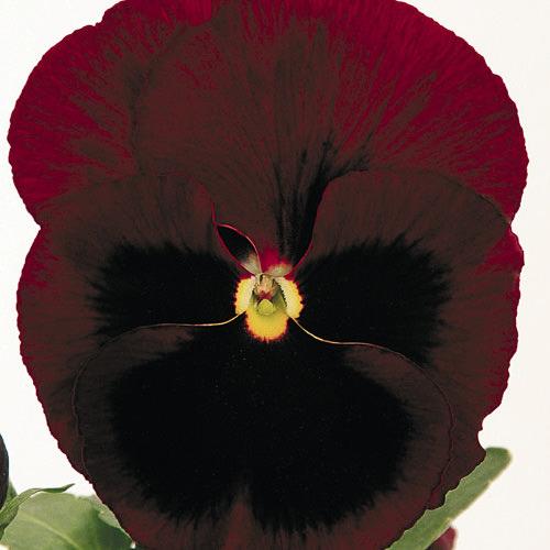Viola x wittrockiana Inspire Ruby
