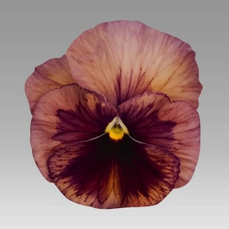 Pansy Inspire Terracotta - Annual Flower Seeds