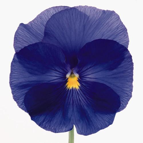 Viola x wittrockiana Inspire True Blue