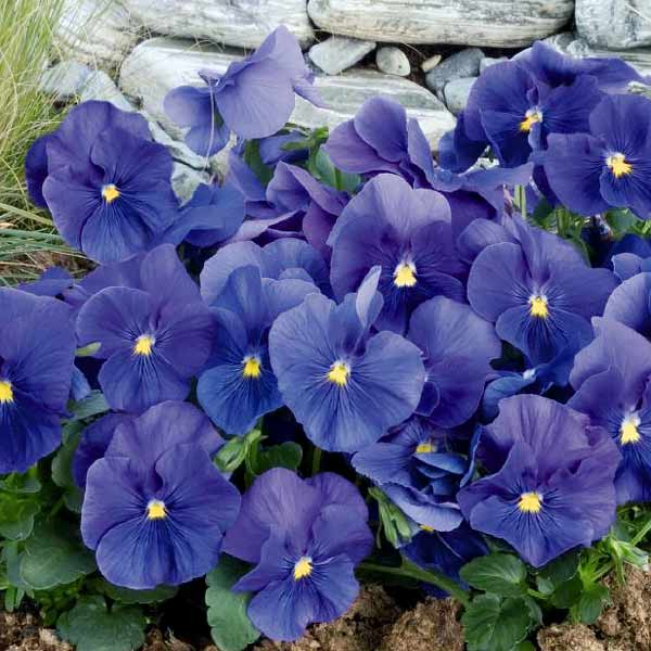 Pansy Inspire True Blue