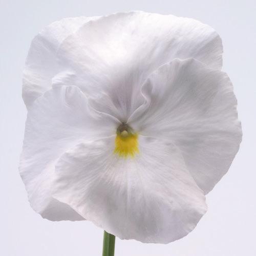 Viola x wittrockiana Inspire White
